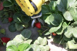 Image: Robotic Harvesting LLC, Le Robotic Strawberry Harvester cueille les fraises, Los Angeles, 2012